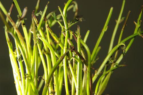 mint plant nature