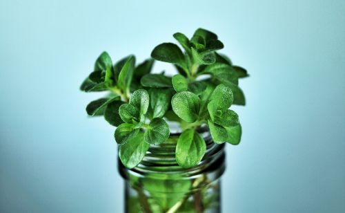 mint plant aromatic plant