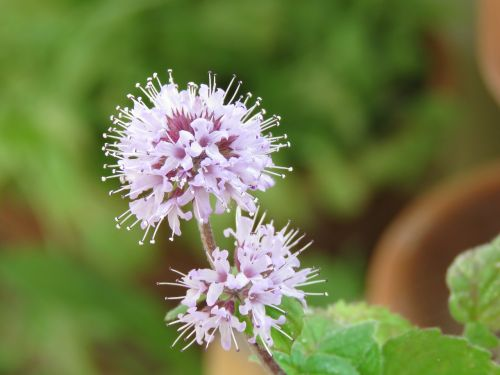 mint flowering flower