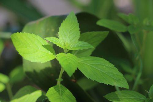 临县 mint green mint