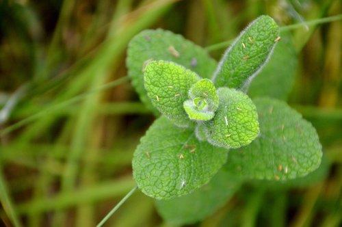 mint  flora  nature