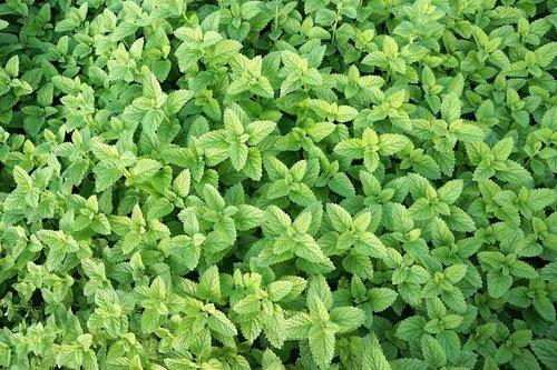 mint  herb  healthy