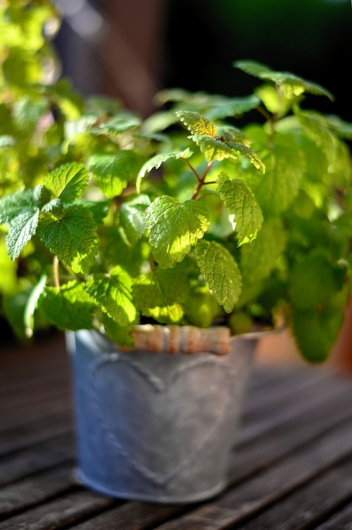 mint  herbs  peppermint