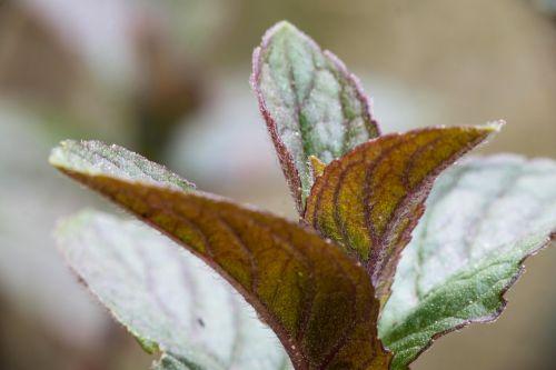 mint schokominze lip flowering plant