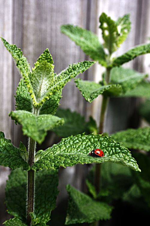 mint peppermint ladybug