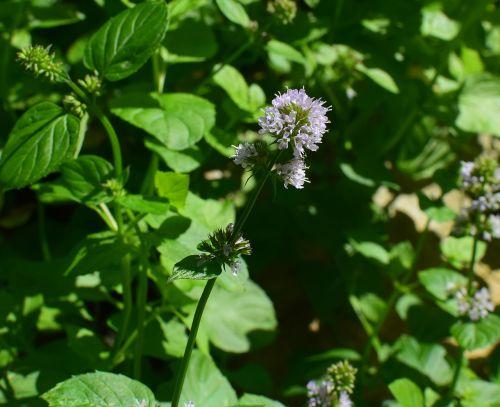 mint flower mint herb