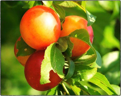 mirabelle fruit wild plum
