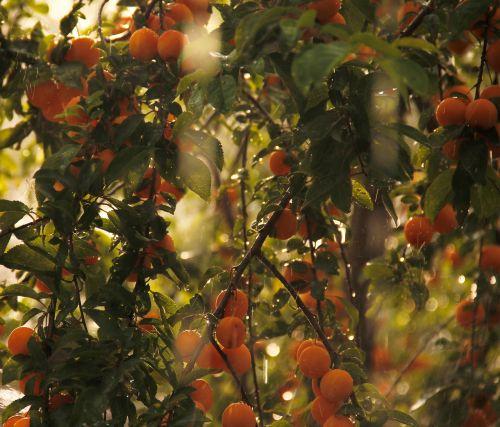 mirabelle mirabelle on tree fruits