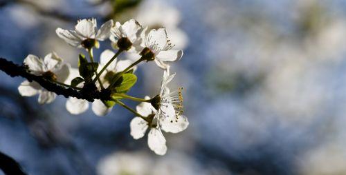 mirabelle spring blossom