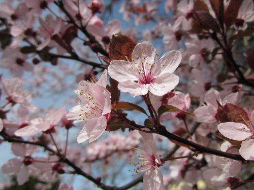 mirabelle prune mirabelle plum blossoms