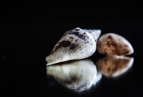 mirroring shell still life