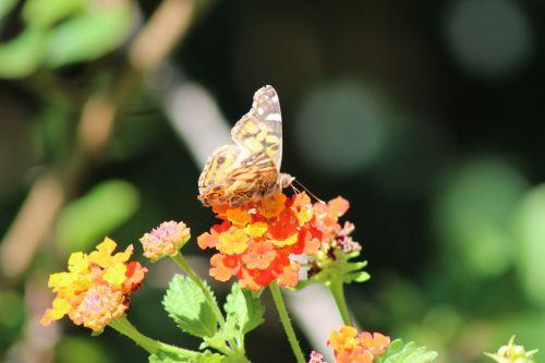 drugelis, drugeliai, amerikietis, dažytos, Lady, rūšis, vanessa, Virginiensis, ruda, klaida, vabzdys, sodas, lantana, gėlė, oranžinė, texas, centrinis, laukinė gamta, pastebėtas, praleidome išnykusi moteris, gerianti nektarą
