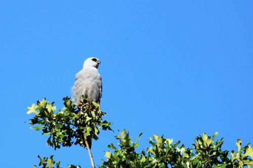 Mississippi Kite In Tree Top