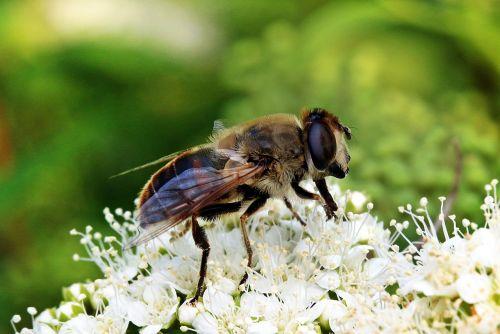mist bee eristalis tenax hover fly