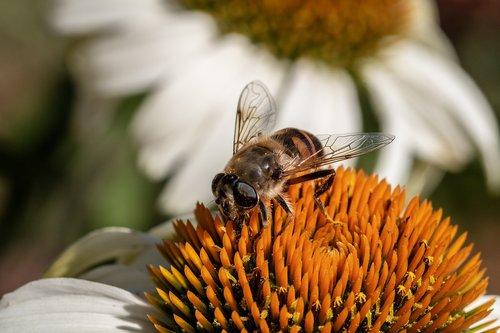 mist bee  mud bee  translucent bee-keilfleckschwebfliege