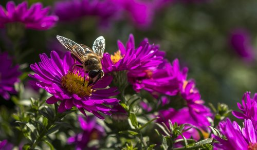 mist bee  hoverfly  aster