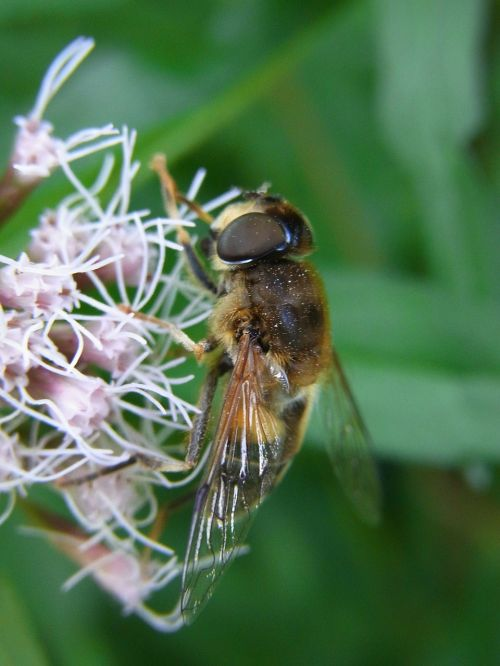mist bee eristalis tenax fly
