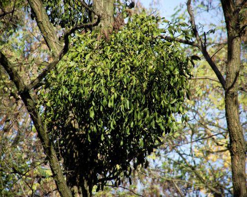 mistletoe foliage the parasite