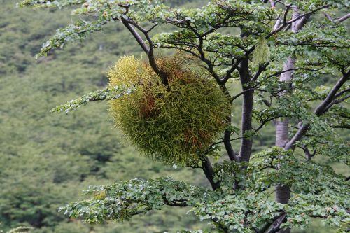 mistletoe lichen australia