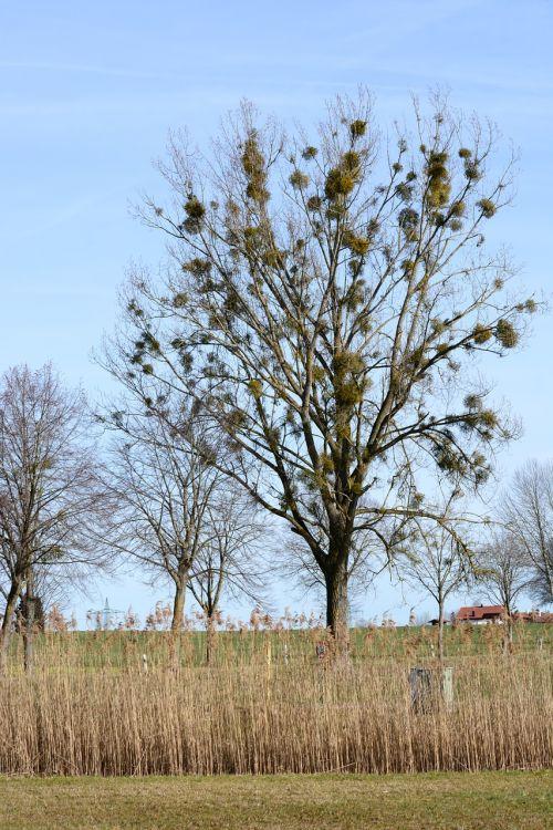mistletoe viscum sandalwood crop