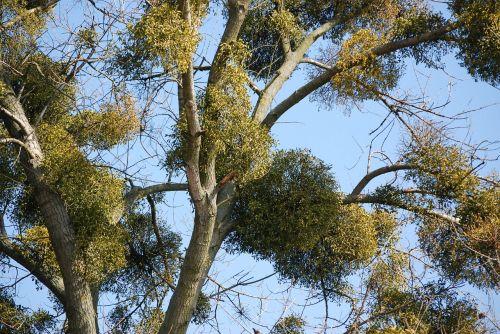 mistletoe tree ecology