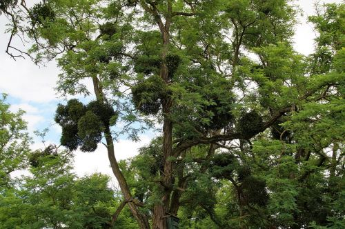 mistletoe parasite christmas plant