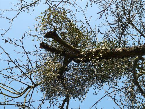 mistletoe mistletoe berries green