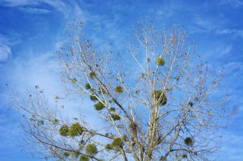 mistletoe halbschmarotzer tree parasite