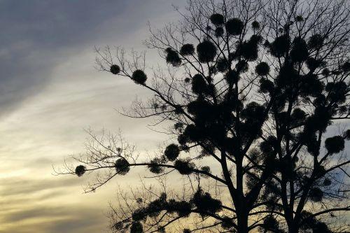mistletoe tree the parasite