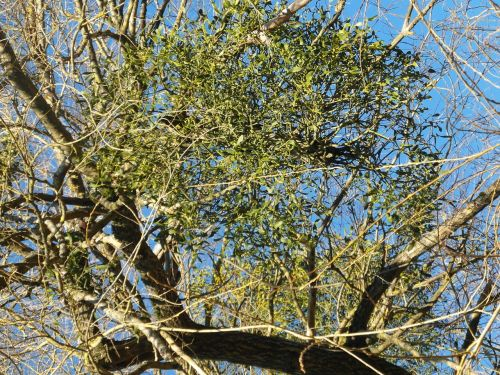 mistletoe parasite medicinal plant