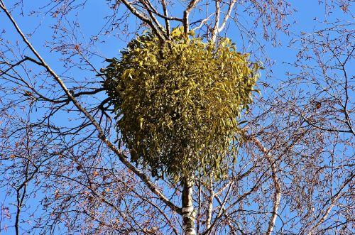 mistletoe viscum album tufts