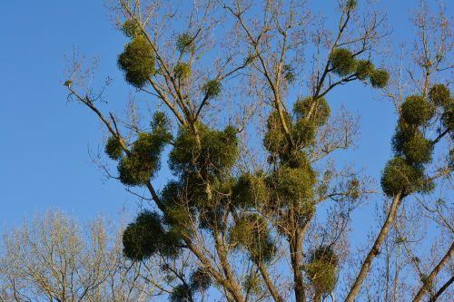 mistletoe tree parasite