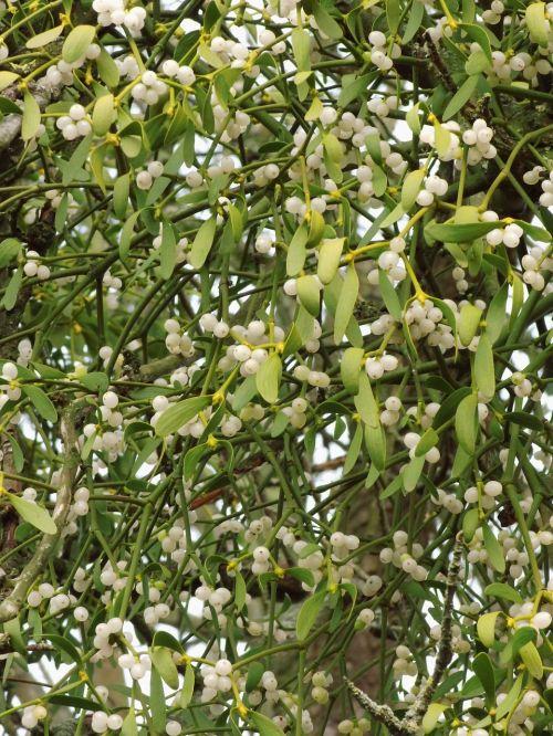 mistletoe parasite mistletoe berries