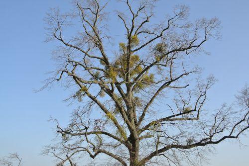 mistletoe tree crown