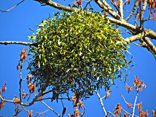 mistletoe tree the parasite