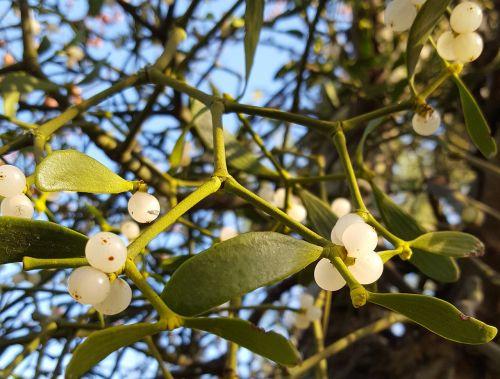 mistletoe winter christmas