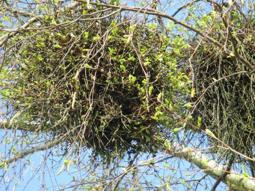mistletoe parasite tree