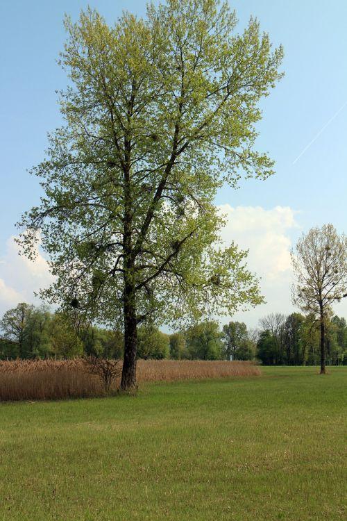 mistletoe tree aesthetic