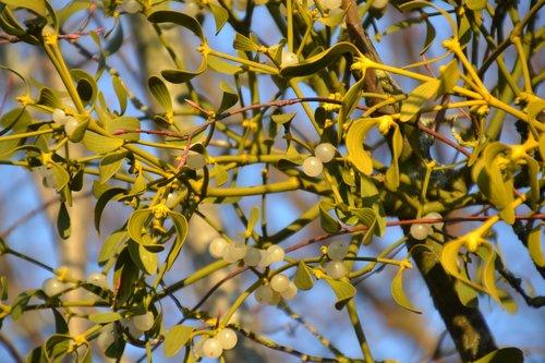 mistletoe  plant  evergreen