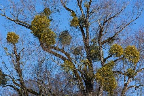 mistletoe  tree  green