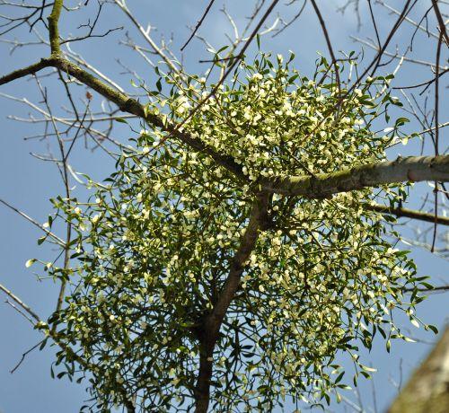 mistletoe bough white berry
