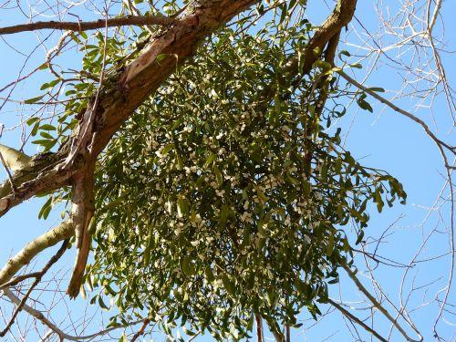 mistletoe parasite parasitic tree