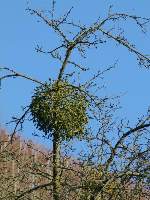 mistletoe plant green