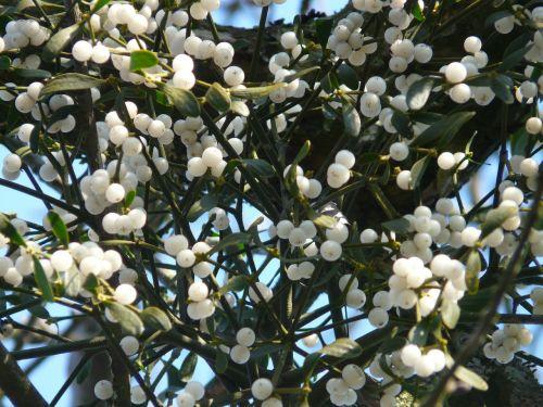 mistletoe berries mistletoe green