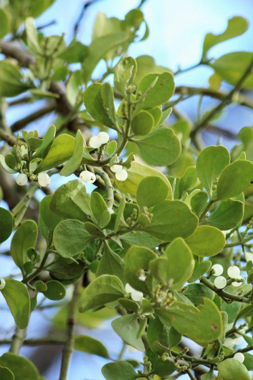 Mistletoe Close-up