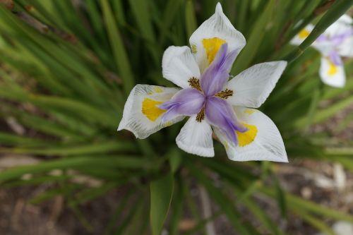 mitsubishi flower tri-petals blooming