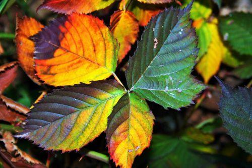 Mixed Autumn Bramble Leaves