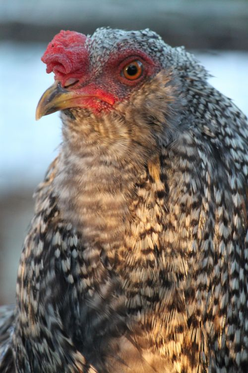 Mixed Breed Chicken