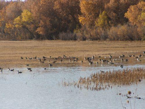 Mixed Flock Of Wild Ducks