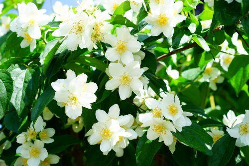 mock orange jasmin flowers